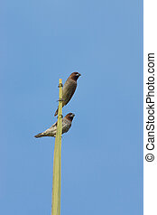 Two birds perched on trees. (Scaly-breasted Munia bird :...
