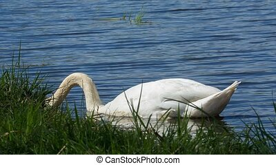 Mute swan, Cygnus, single bird on w - Alone swan, Cygnus,...