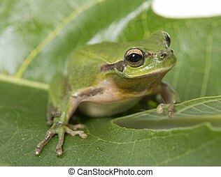 European tree frog standing on a leaf