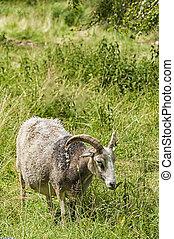 Feeding Goat - A farmyard goat feeds on some lush grassland