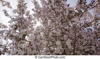 Sun rays make their way through the branches of apple trees with pink flowers.