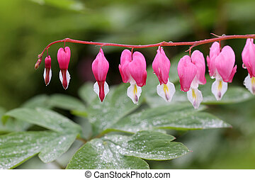 Bleeding Hearts - Extreme close up shot of bleeding heart...