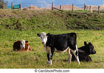 three crossbreed calves in paddock - closeup of three...