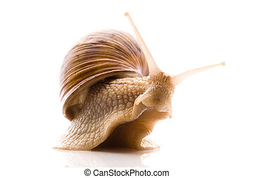 caracol, blanco, aislado,  animal