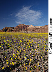 desert flower bloom - death valley wildflower super bloom