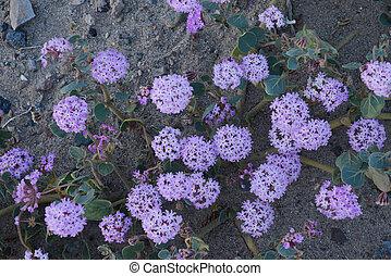 desert flower bloom