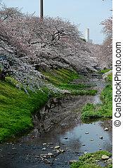 sakura, cerca, Tokio,