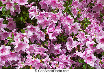 blossoming pink rhododendrons, flower background