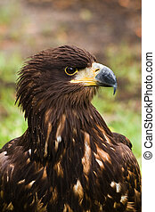 Steppe eagle - Portrait of Steppe eagle in side angle view