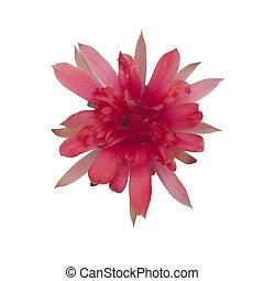 cactus flower isolated on white backgroundc - cactus flower...