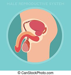 Diagram of the male reproductive system
