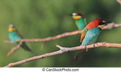 Marriage game birds of paradise,beautiful picture with...