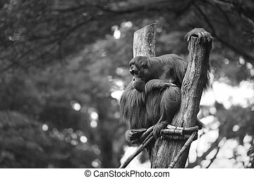 Adult orangutan sitting with jungle as a background.