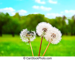White fluffy dandelions against a green glade and the solar...