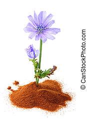 el, achicoria, (succory), flor, y, polvo, de, instante,...