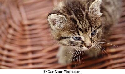 Cute kitty walking on the wooden basket.