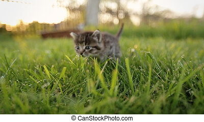 Cute kitty with blue eyes walking on the garden