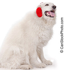 white severe with red ear muff - white dog with red ear muff...