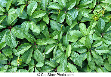 Virginia creeper green leaves - Virginia creeper...