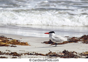 Caspian tern (Hydroprogne caspia) on the beach at Seal Bay,...