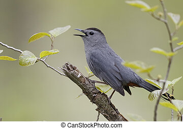 Gray Catbird Calling in Spring - Ontario, Canada