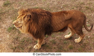 big Beautiful African wild lion - the big Beautiful African...