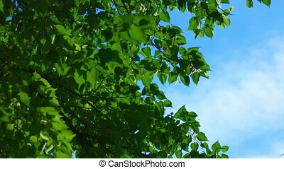 Crown of tree, leaves fluttering on wind with bright...