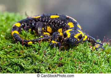 Fire salamander on a mossy trunk in its natural habitat -...