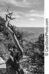 Canyon Deadwood - Black and white picture of dead tree and...