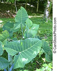 huge leaves giant yam plant in central america
