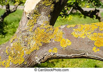Fugus on tree trunk - Fungus pest on a lemon tree trunk