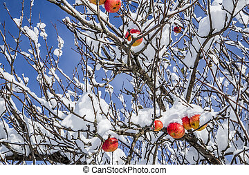 Apples on a Tree Under Fresh Snow
