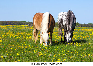 Haflinger and Knabstupper horse on a meadow - Two Horses...