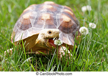 African Spurred Tortoise - Cute turtle crawling on the green...
