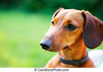 Red smooth-haired dachshund portrait closeup