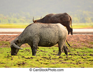 Thai Buffalo walk over the field go back home with sunset....