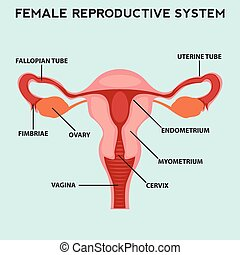 Female reproductive system, image diagram
