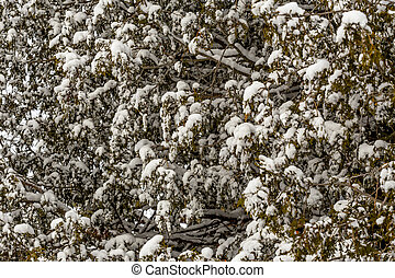 Snow Covered Cedar Hedges