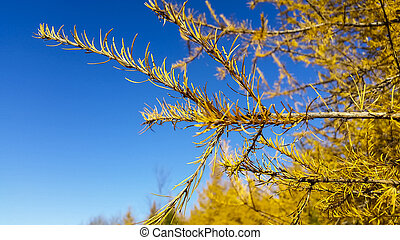 larches in autumn - larch trees autumn against blue sky