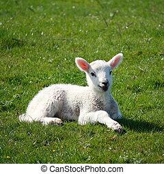 newborn lamb resting on green grass - closeup of newborn...