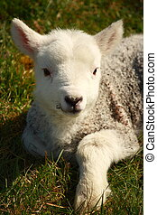 newborn lamb resting on grass - closeup of newborn lamb...