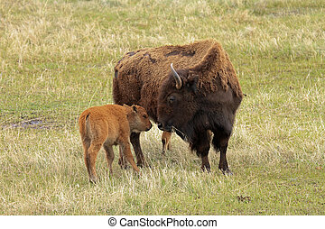 Healthy bison mother and calf - Healthy buffalo mother and...