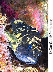 Copper rockfish on reef - California copper rockfish uses...