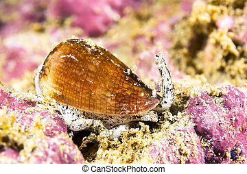 California cone snail - A poisonous California cone snail...