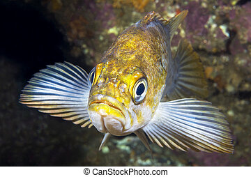 Copper rockfish on reef - A California copper rockfish uses...