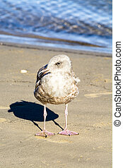 A seagull resting on the beach - A young seagull stands near...
