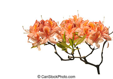 Orange azalea - Orange Azalea flowers in bloom isolated on...
