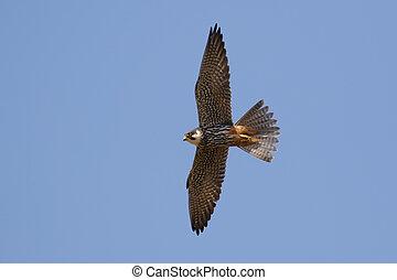 Hobby (Falco subbuteo) in flight against a blue sky.