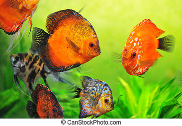 discus in aquarium - beautiful red symphysodon discus in a...
