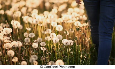 Feet girl walking on the field with dandelions at sunset